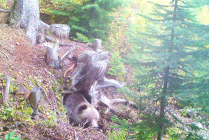 Sept 23 - Here's a shot of boo, caught by a camera hidden by our grizzly bear ranger, working on his natural winter den.